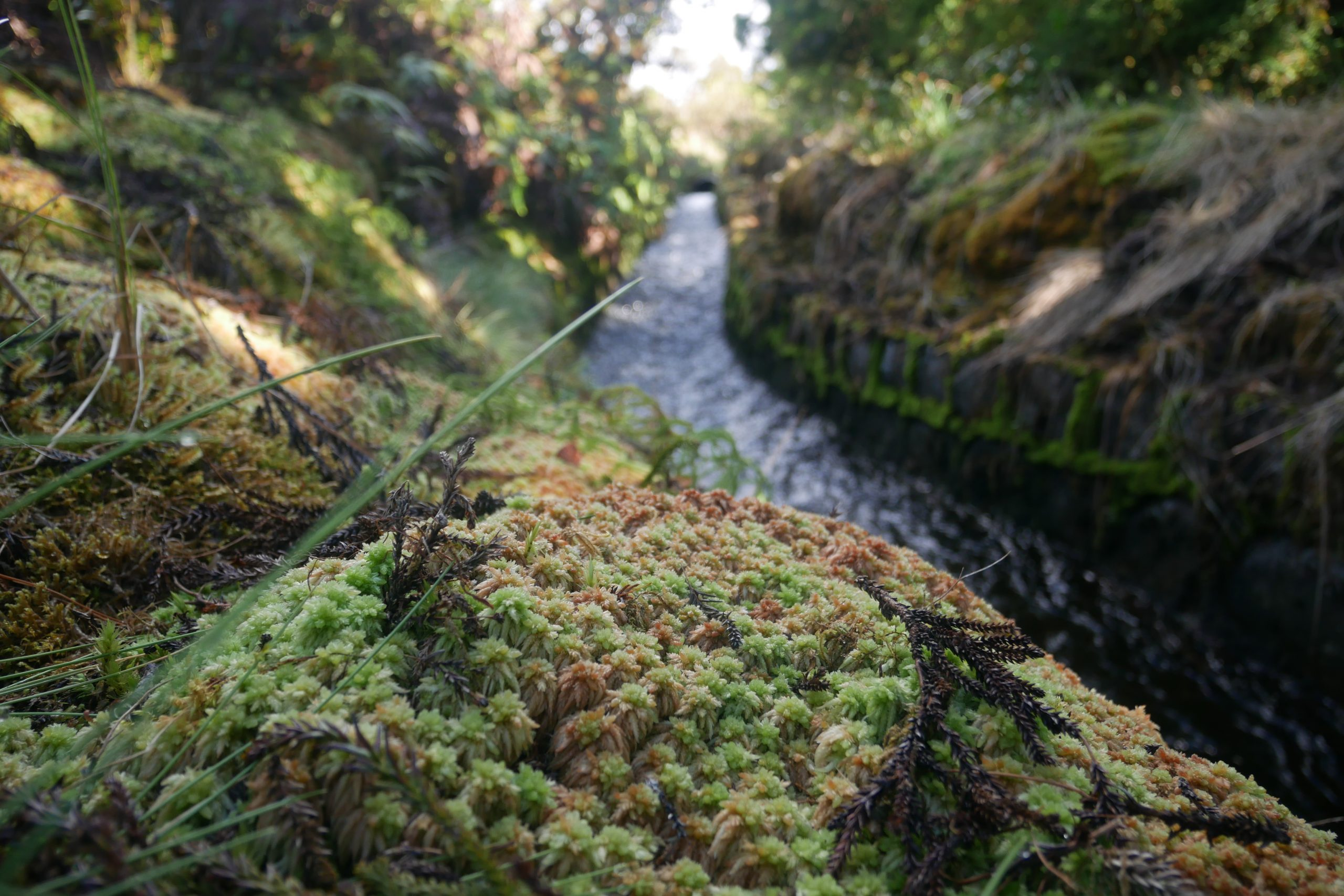 Picture of Water canal in Kohala forest overgrown with the carpet moss Sphagnum palustre